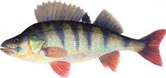 Perch/ Ahven (Perca fluviatilis) on Suomen kansalliskala Reptiles, Wood Crafts, Scenery, Creatures, Fish, Bugs, Illustration, Nature, Country