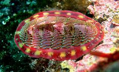 Fabulous Chiton sp. - probably Pacific (USA)