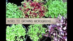 #Microgreens are herb & vegetable 'toddlers'. The perfect start for beginner gardeners. Or if you have limited time, space or money and want nutrient-dense food in a hurry. In this video lesson, learn some of the varieties of microgreens you can grow in just 7-21 days. In the 'Easy Guide to Growing Microgreens' 4 step tutorial, discover their health benefits, best seeds to sow, varieties, recipes + tips @ https://themicrogardener.com/easy-guide-to-growing-microgreens.