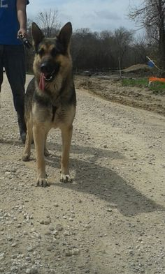 Rambo is a male that does not belong to us but he is available for studding