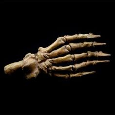 Cave Bear Paw - Fossilized