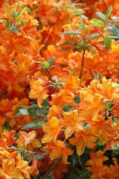 Цветущие Деревья, Цветок Гладиолус, Названия Цветов, Оранжевые Цветы, Красочные Цветы, Красивые Цветы, Цветочный Декор, Цветочные Вазы, Затененный Сад