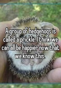 """A group of hedgehogs is called a prickle. I think we can all be happier now that we know this. """