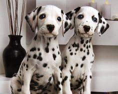 Dalmation Pups...i want one!