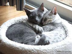 egypitain mau cats | Egyptian Mau cat