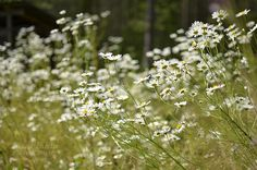 Päivänkakkarat Summer Photos, Fields, Dandelion, Flowers, Plants, Summer Pictures, Dandelions, Plant, Taraxacum Officinale
