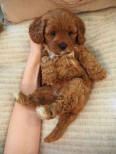 My heart melts! Cute Dogs And Puppies, Baby Puppies, Baby Dogs, I Love Dogs, Doggies, Pet Dogs, Cavapoo Puppies, Maltipoo, Goldendoodle