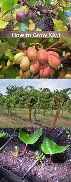 Growing Hardy Kiwi Vine In The Garden Kiwi Plants Planting Fruit Trees, Dwarf Fruit Trees, Fruit Garden, Planting Flowers, Garden Plants, Green Garden, Vegetable Garden, Kiwi Growing, Hardy Kiwi