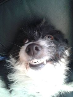 Patch Border Collie x West Highland White Terrier | Pawshake New lambton