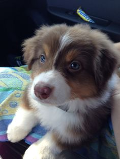 red merle aussie pup....this must have been what Penny Lou looked like as a baby.  Miss my little girl.