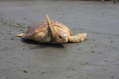 rehabilitated sea turtle waves good-bye as its released back into the ocean