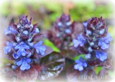 Inspiration By Helene: Planter til skyggebed: Det første som blomstrer i dette bedet om våren, er den blåblomstrete Krypjonsokkollen -Ajuga reptans -dansk: krybende læbeløs.  Bladverket er veldig fint, med sin burgunderrøde farge.
