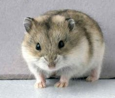 Learn more about our pet Dwarf Hamsters