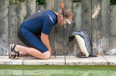 This Penguin Was Scared Of The Water, Watch This Guy Teach Her How To Swim. - http://www.lifebuzz.com/swimming-lessons/