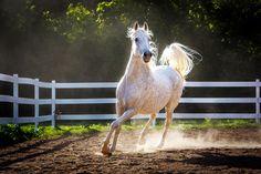 Daily Dose - February 20, 2016 - Evening Light - Gray Arabian Horse 2016©Barbara O'Brien Photography