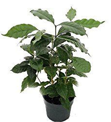Coffee plant makes an attractive house plant. Just don't expect this coffee bean plant to offer that morning cup of joe. Get tips for growing coffee plants indoors.
