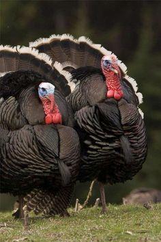 Wild Turkeys - beautiful birds in the wild