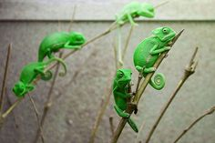 Young Veiled Chameleons by Michael Molthagen