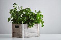 Parsley, Planter Pots, Herbs, Herb, Medicinal Plants
