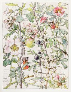 1910 Botanical Print by H. Isabel Adams Rose