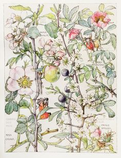 1910 Botanical Print by H. Isabel Adams Rose