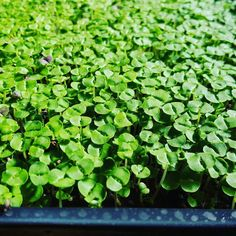 #microgreens #microortaggi #basilico#basil #verticalfarming #urbanagriculture by piantanatura