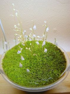 Utricularia graminifolia flowering(via http://hydro-culture.net/)