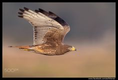Beauty of The Nature - White-Eyed Buzzard Pakistan
