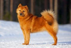 Page Not Found - Royal Canin Spitz Dog Breeds, Spitz Dogs, Beautiful Dog Breeds, Beautiful Dogs, I Love Dogs, Cute Dogs, Animals And Pets, Cute Animals, Purebred Dogs