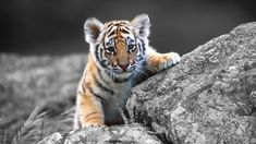 baby tiger images Baby Tiger Wallpaper Tigers Pinterest