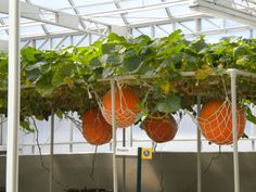 This is apparently the most successful way to grow pumpkins—in a pumpkin hammock.