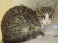 ***GONE 09/08/16***TINY CLEMENTINE is the most adorable kitten ever!! CLEMENTINE…