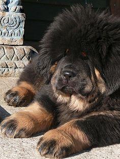 Tibetan Mastiff... only 2.5 months old! WANT!!!