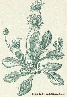 heaveninawildflower:  Bellis perennis - Daisy Source - [http://www.ibiblio.org/herbmed/eclectic/waldfeld/bellis-pere.html Henriette Herbal'...