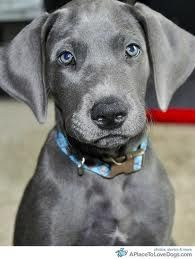 Beautiful puppy of blue great dane