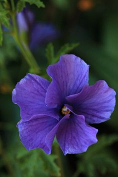 Blue Hibiscus (Alyogyne huegelii) by Sheila of Perth, Australia, on pbase.com