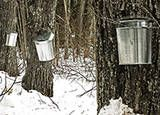 How to Collect Maple Sap and Make Maple Syrup... Now I just new to figure out if we have maple trees.