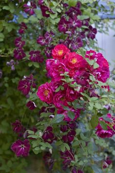 Roses and Clematis via Helen Fredholm's garden