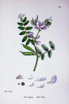 Antique Print of Bush Vetch Botany Plants C1902 Vicia Sepium Flowers uk.picclick.com