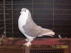 Lavender Lahore Pigeon