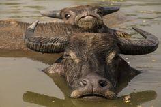 水牛 / Water Buffalo in Pai Thailand by kimtetsu