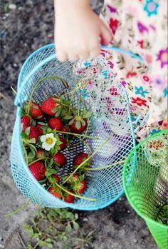 Warm memories of picking strawberries... .