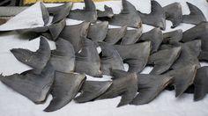 Plus de protection pour les éléphants, les raies Manta et les requins!