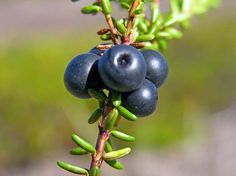 Kråkbär/kråkris, Empetrum nigrum - Blomväxter - NatureGate