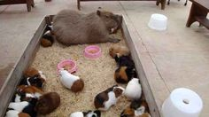 Guinea pigs are part of the capybara friendship group, too.