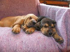 bloodhounds<3  The pup on the right looks just like my sweet Willa Pearl!