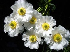 Mount Cook Lily - A Ranunculus, not a Lily Species. Grows at elevations of 700-1500m. Mountain Flowers, New Zealand