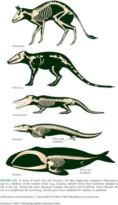 Some stages of Whale evolution - fantastic: Diacodexis... Pakicetus... Ambulocetus... Dorudon... Balaena. Each one of these stages took millions of years.