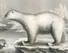 1860 Antique Steel Engraving of Polar Bears, Walruses, Seals, Cats, Hyenas, and Other Animals
