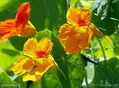 Nasturtium, which originated from the cooler Andean regions of Peru, Colombia and Ecuador, are nutritious, contain antioxidants and have many traditional medicinal uses. More, including video, at www.naturalhomes.org/naturalliving/nasturtium.htm #dragoljub